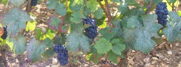 Wijn en spijs combineren: rode wijn per druivenras