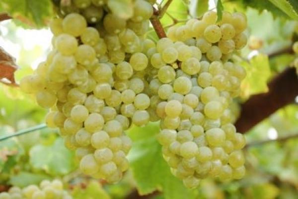 Wijn en spijs combineren: witte wijn per druivenras